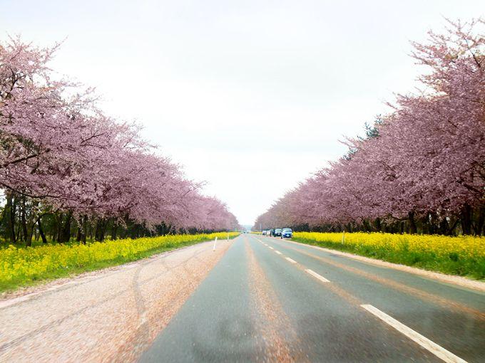 かつては湖の底だった。秋田県大潟村の桜並木・菜の花ロード11キロ