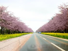 かつては湖の底だった。秋田県大潟村の桜並木・菜の花ロード11キロ|秋田県|トラベルjp<たびねす>
