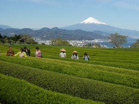富士山バックにワンコイン茶摘み体験!静岡「日本平お茶会館」|静岡県|トラベルjp<たびねす>