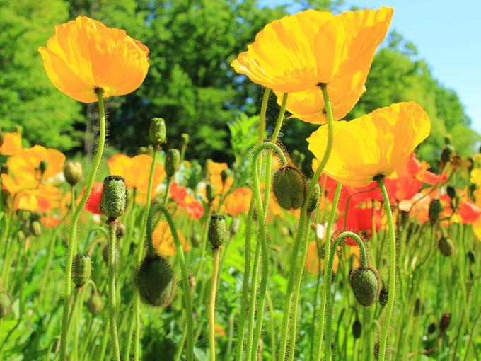 ネモフィラと同時期に咲くアイスランドポピーの花畑も
