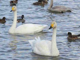 美しい白鳥が舞い降りる!新潟「瓢湖」エサやりも面白い|新潟県|トラベルjp<たびねす>