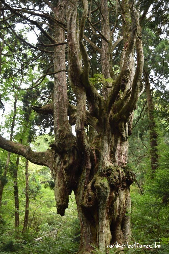 大満寺山の麓にある奇杉「岩倉の乳房杉」はまるでジブリの世界