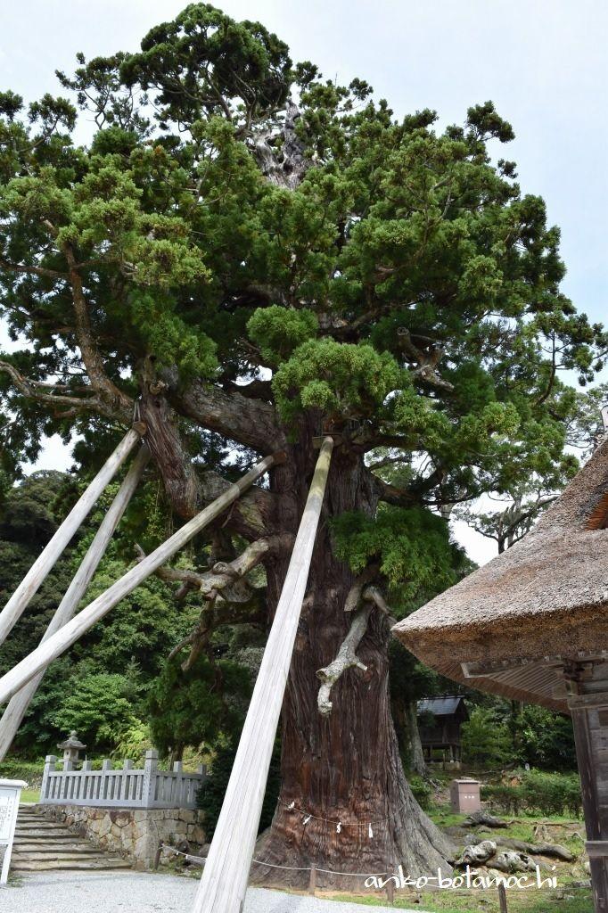 玉若酢命神社の境内で千数百年の時を刻む「八百杉」