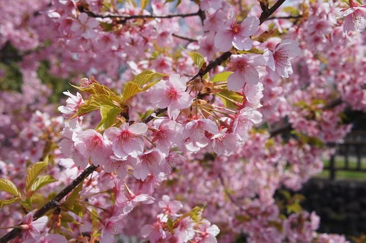 京都市内では唯一の河津桜並木です!