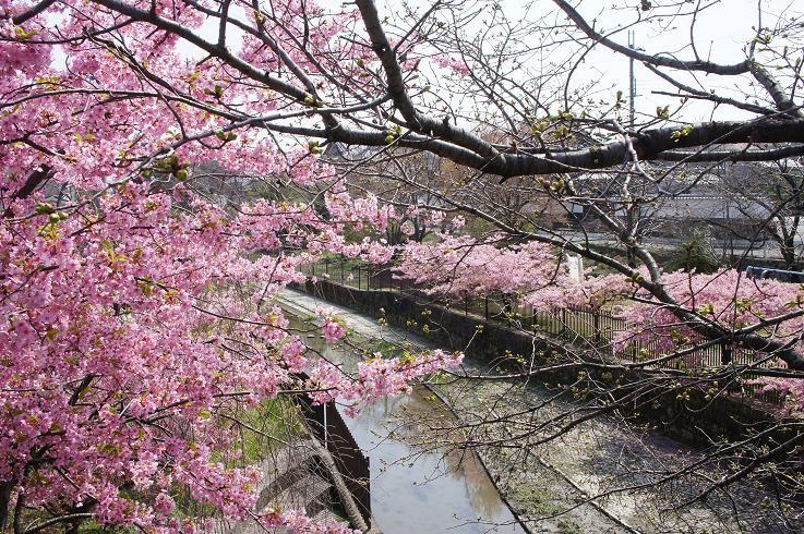 河津桜の開花時期は?