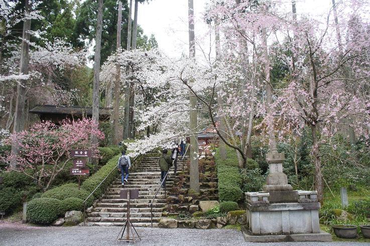 しだれ桜に包まれ美しい三千院