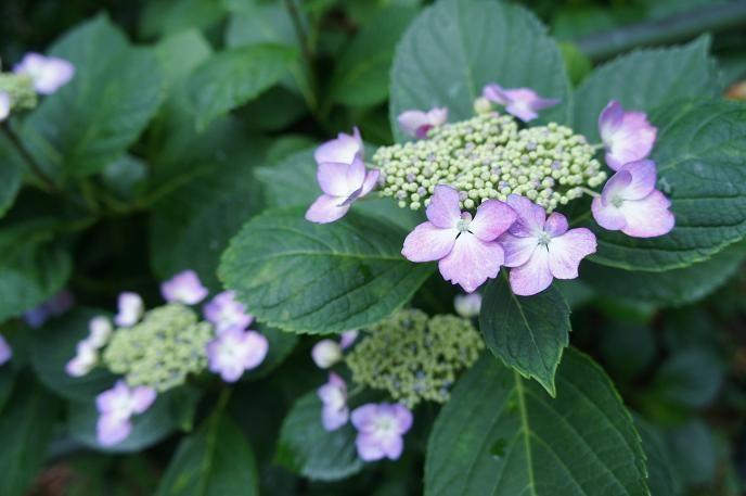 紫陽花苑の開苑期間中は様々な催しが開催されます!