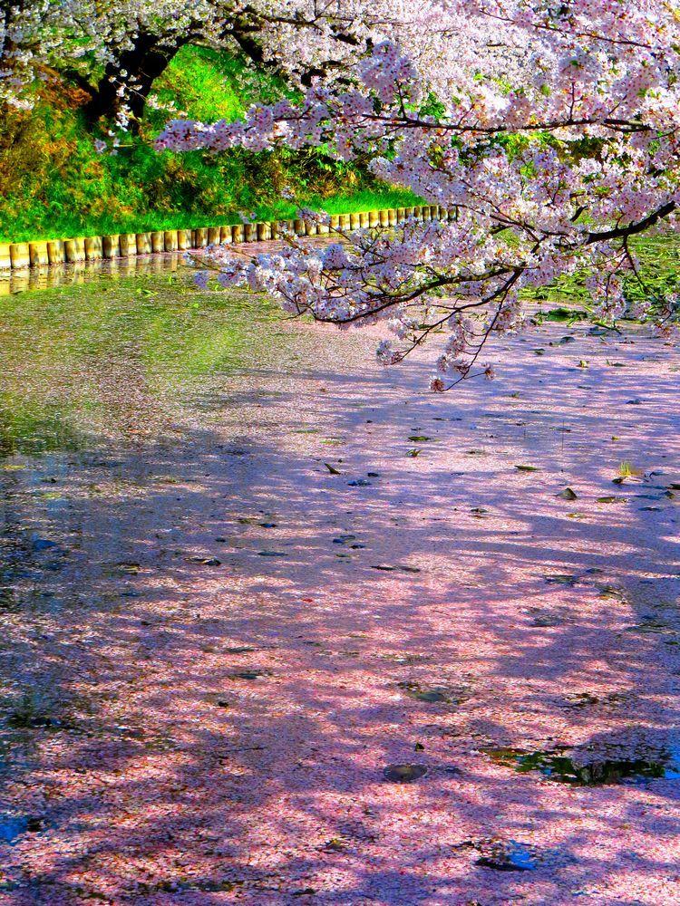 壕を染める桜の花びら