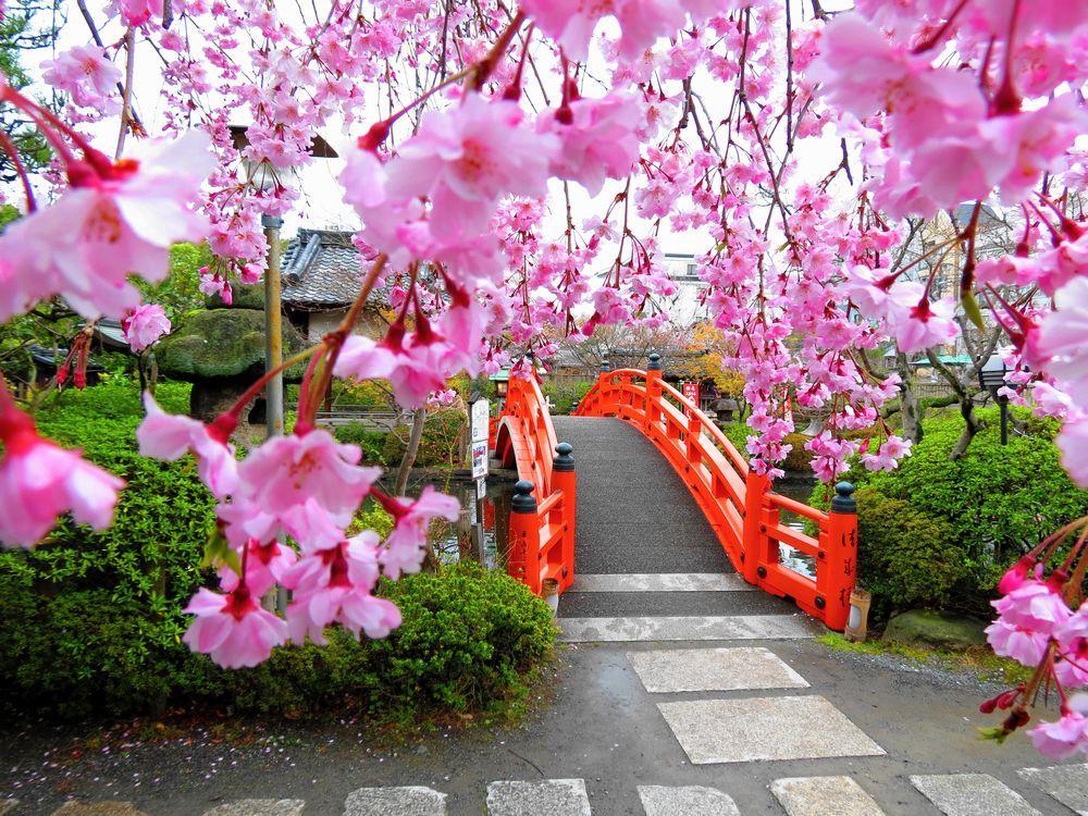 桜と法成橋
