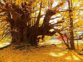 青森県七戸町は巨大なイチョウもある紅葉の宝庫地
