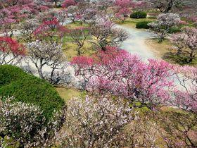 見事な梅の見どころ「福岡城跡」は石垣と紅白の世界|福岡県|トラベルjp<たびねす>
