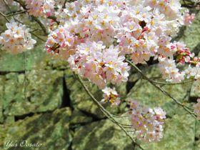 もんげぇきれいな桜の「岡山城」は外国人観光客急増中!|岡山県|トラベルjp<たびねす>