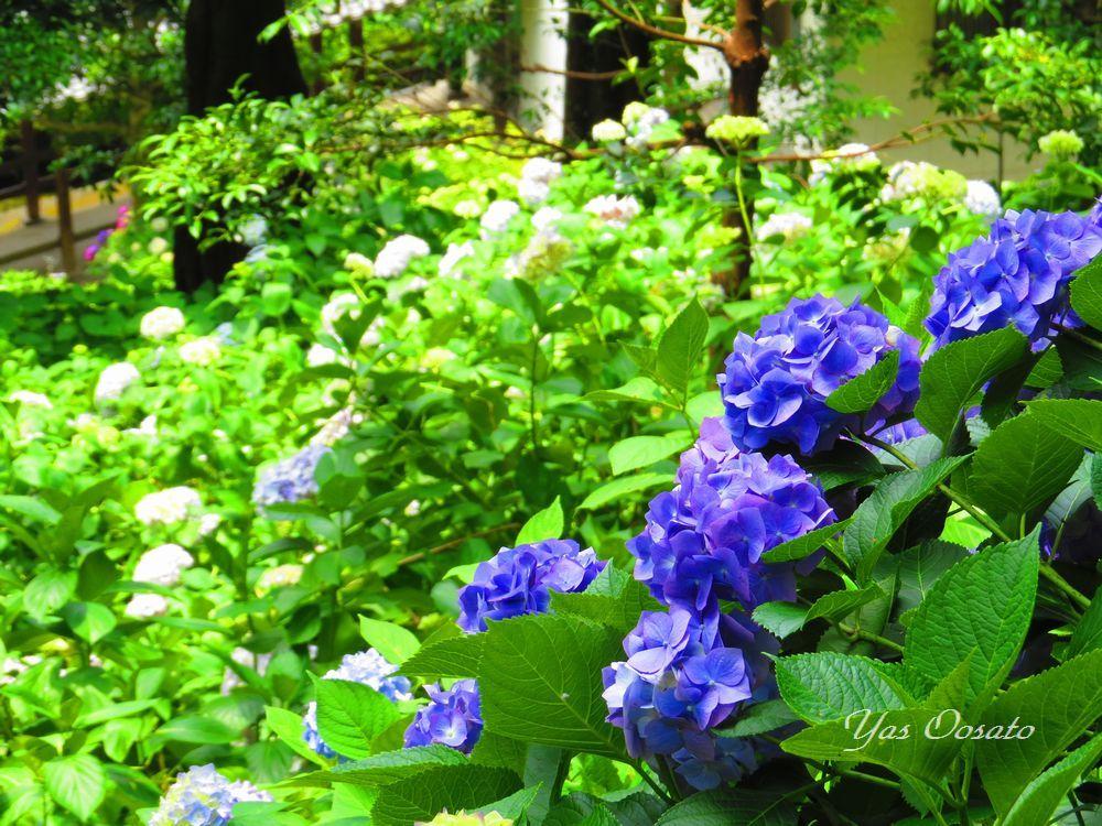回廊からの紫陽花