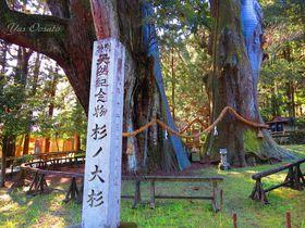 坂本龍馬が見上げ美空ひばりが合掌!三千歳の高知大豊・杉の大杉