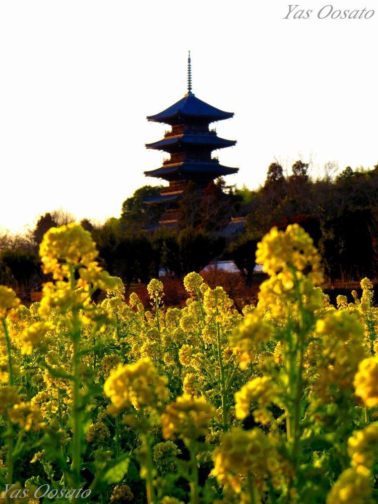 備中国分寺の菜の花