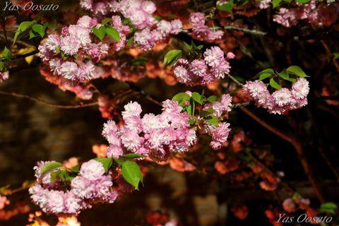 大阪造幣局・桜の通り抜けと大阪城の光