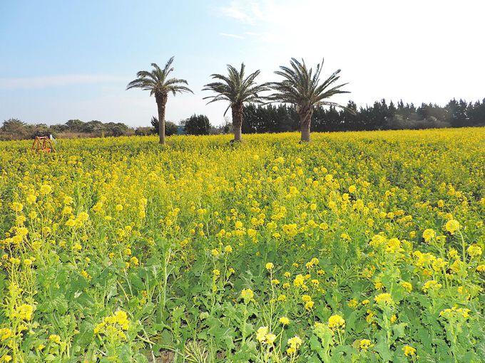 1000万本の菜の花じゅうたんは圧巻の一言