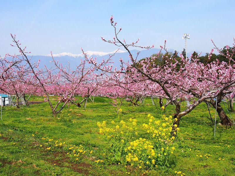 山梨県「笛吹市桃源郷春まつり」春の陽気に誘われて日本一の桃源郷を愛でる