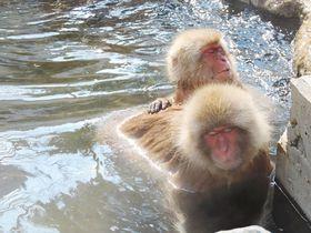 人も猿も温泉大好き!長野県渋温泉「地獄谷野猿公苑」のスノーモンキーに会う|長野県|トラベルjp<たびねす>