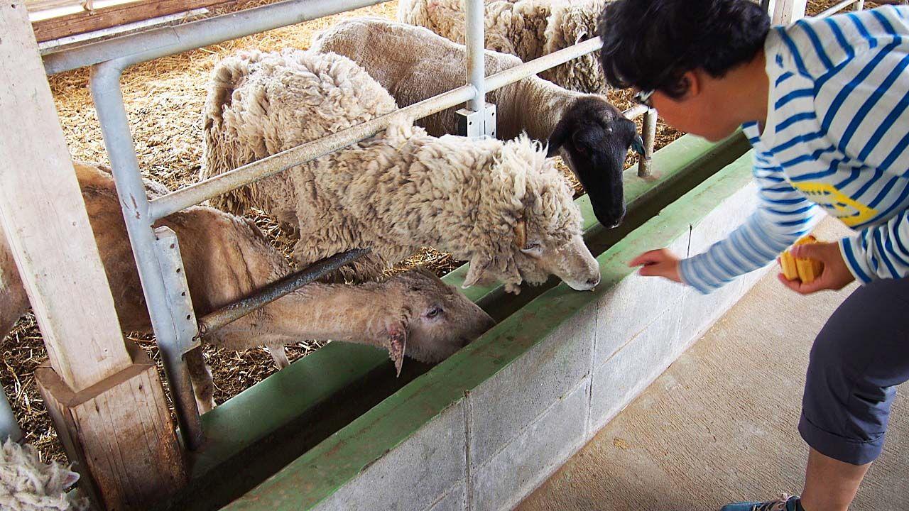 フワフワな毛が可愛い愛くるしい瞳の羊と触れ合う!