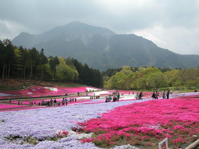 雄大な武甲山と美しい芝桜のコラボレーションに感動