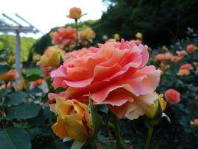 じっくりバラをながめたいならココ!〜千葉県の穴場的「バラ園」ベスト4