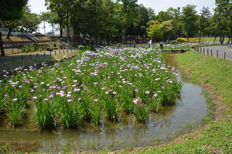 あなたなら愛でる?撮る?描く?約100種類!花菖蒲の色彩のリズムを奏でる東京葛飾の水元公園