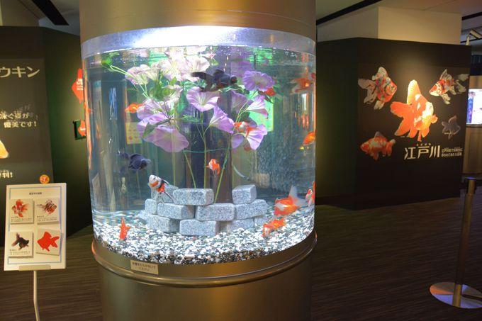 リアルに江戸川金魚が80匹!