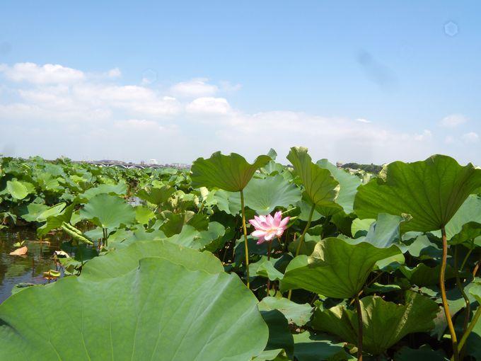 蓮の花と共に手賀沼の魅力