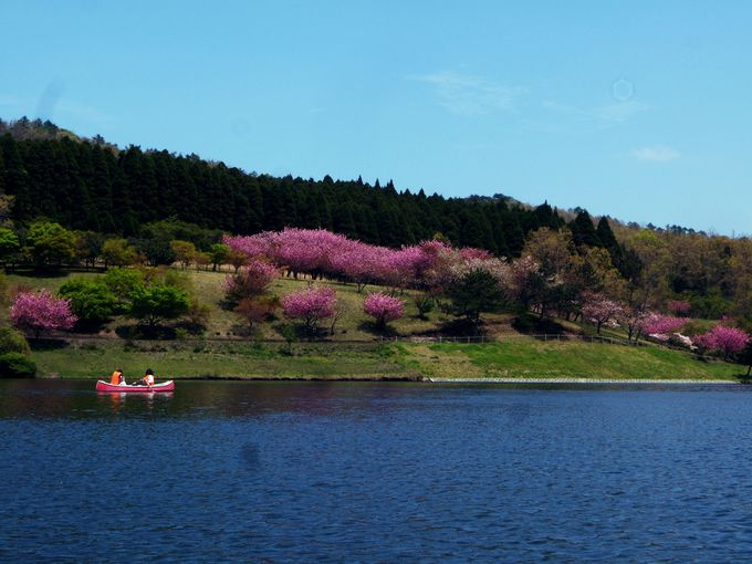 対岸の桜まで優雅に手漕ぎ