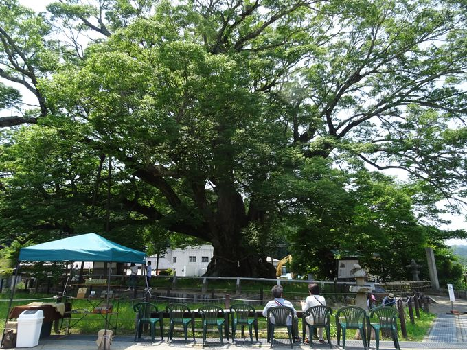 昔から人々を見守ってきた神様の木