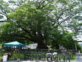 1000年もの時を越えてきた大阪・能勢町「野間の大けやき」|大阪府|トラベルjp<たびねす>