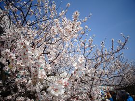 桜より一足早く!神戸・灘の東洋ナッツでアーモンドのお花見