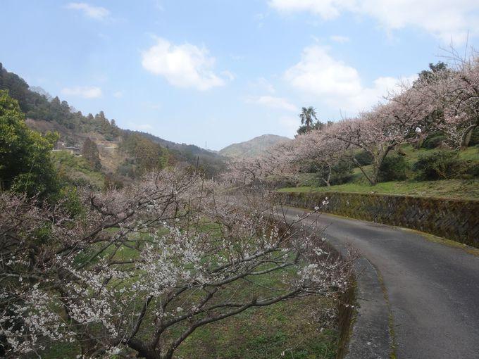 春は梅から!美しく、うんめ~梅に出会う!四国徳島県神山町