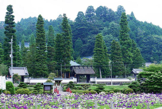 ハナショウブが艶やかな花絵巻を繰り広げるのは、6月上旬から7月上旬。