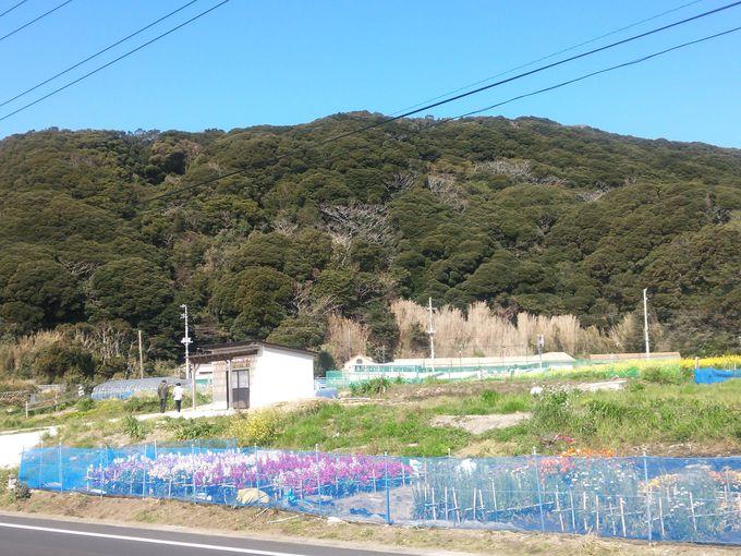 千倉町白間津の道路沿い花畑