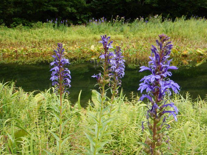 手軽に湿原散策を楽しめる「ミニ尾瀬公園」、カフェで驚きのメニューも