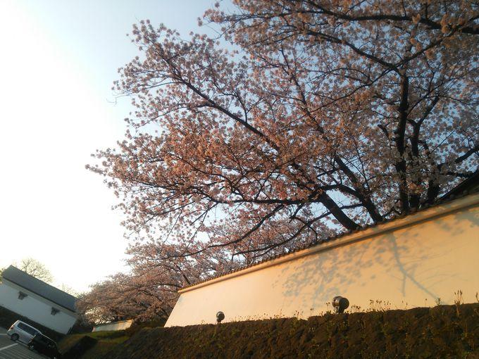 会津武家屋敷の白壁沿いの桜