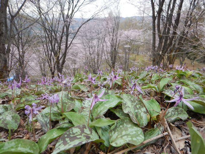 4月中旬〜下旬が見ごろ!大林ふるさとの山カタクリ群生地