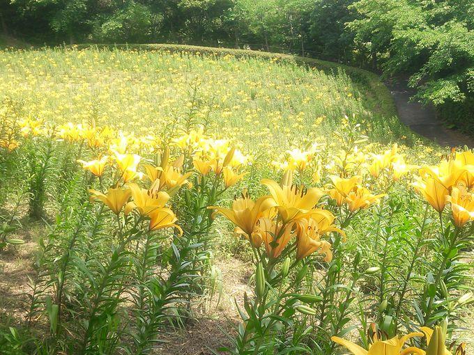 圧巻!一面黄色のゆり畑