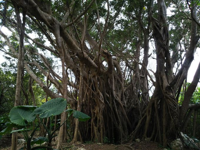 亜熱帯自然林コースを巡ってガジュマル・ソテツの森へ