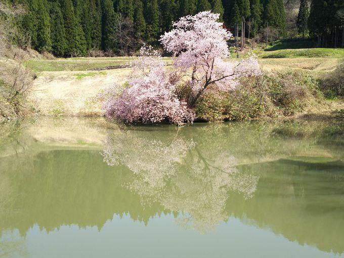 その他にも、ミズバショウやふきのとう、鏡桜も