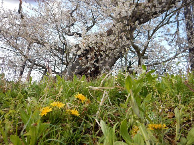 一緒に見たい、伝説の「米沢の千歳桜」
