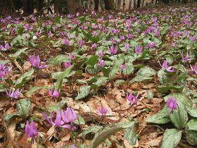 カタクリさくらまつりも!一面に咲くカタクリは奥会津の春の息吹|福島県|トラベルjp<たびねす>