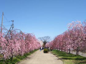 喜多方市「日中線記念自転車歩行者道」しだれ桜並木と酒蔵イベント