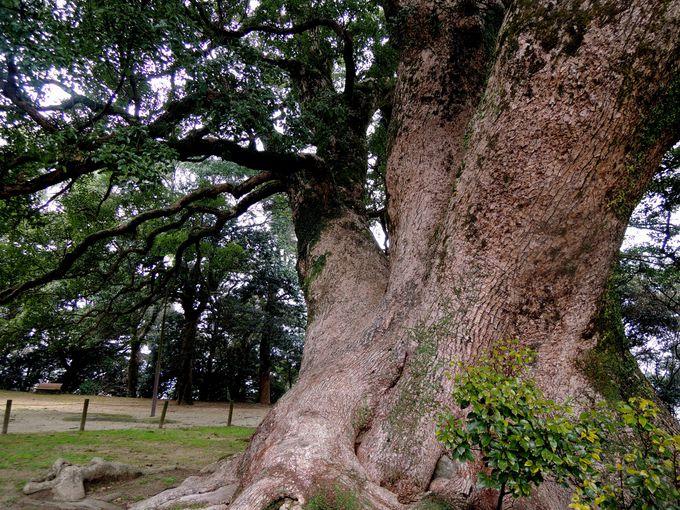 全山が国指定天然記念物!樹齢600年以上の大楠もチェック