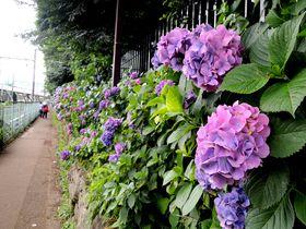 駅から1分!東京のあじさいの名所「飛鳥の小径」は飛鳥公園そば|東京都|トラベルjp<たびねす>