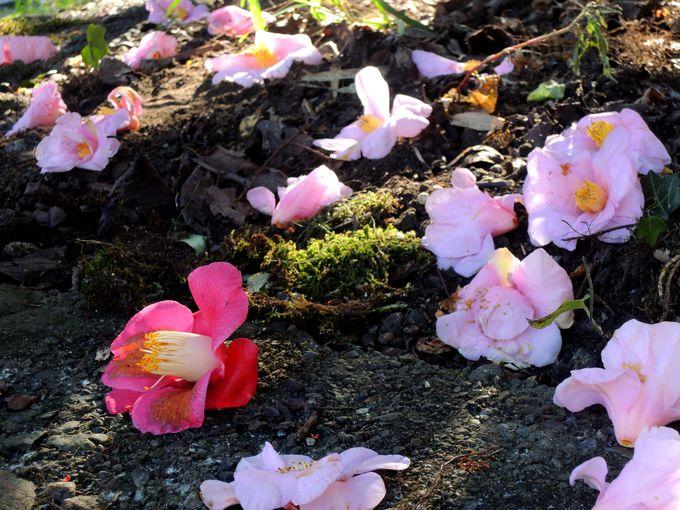 高浜虚子ゆかりの地と椿園も見どころ