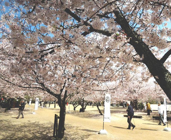 桜咲き乱れる本丸広場・・そして松山城とご対面!