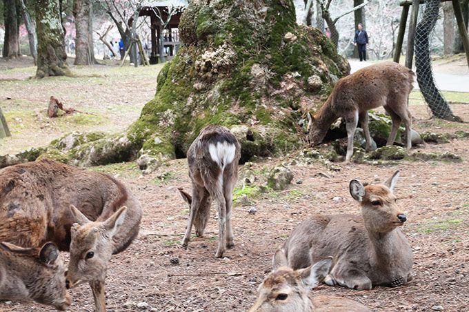 知られざる奈良「鹿」の世界